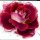 "Posh Chalk ""Radiant Rose"""